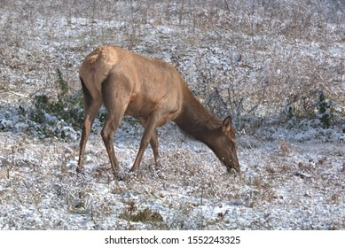 Elk Cow grazing thru the snow for the grass under the light snow fall