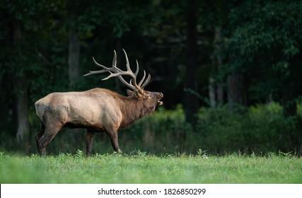 An elk crossing a creek