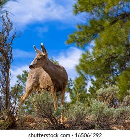 Elk Deer grazing in Arizona Grand Canyon National Park USA