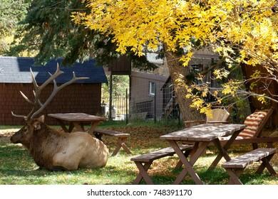 Elk During Elk Rut Lounging in the Backyard