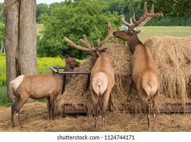 Elk feeding at a hay pile