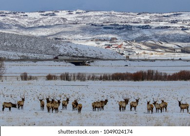 Elk in a field with snow and mountains in the distance in Park City Utah