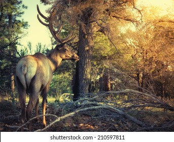 Elk in the Forest, Grand Canyon National Park, Arizona