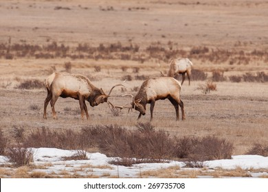Elk found sparing in Grand Teton National Park ear Kelley and Jackson Hole Wyoming.