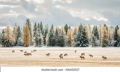 Elk grazing a snowy field near firs and tamarack.