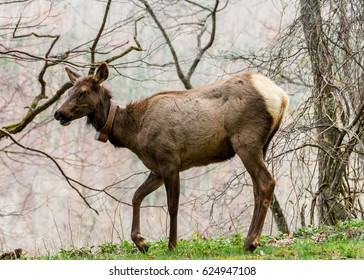 An elk in the Great Smoky Mountains National Park in North Carolina