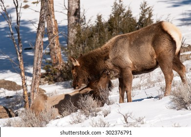 An elk grooms another younger elk as he's laying on the ground in the snow