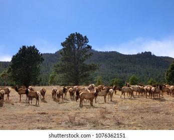 Elk herd among the wilderness