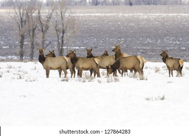 Elk herd found in Grand Teton National Park ear Kelley and Jackson Hole Wyoming.