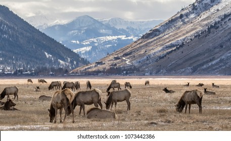 an elk herd on the national elk refuge feeding on yellow grass in winter with  the mountain town of Jackson Hole in background.
