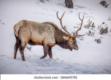 Elk Herd in Yellowstone Park