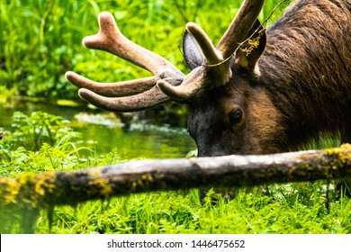 Elk in Hoh Rain Forest that is situated in Washington, United States of America, nature, landscape, background, wildlife, elk, tourism, Travel USA, North America, Evergreen