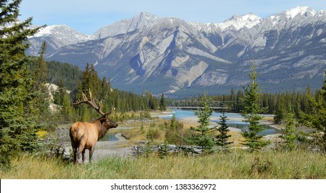 Elk in Jasper National Park, Alberta, Canada