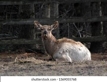 Elk laying down