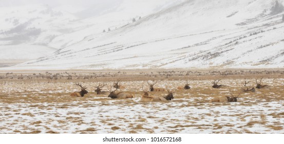 Elk laying and feeding on the elk refuge in Jackson Hole Wyoming