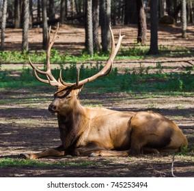An elk lying down