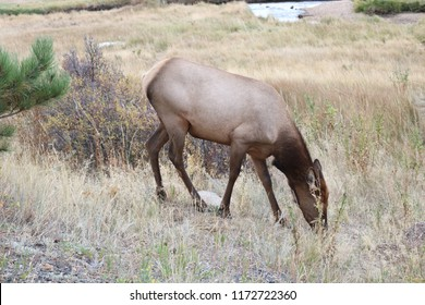 Elk (male, female and baby) at the Beaver Meadows in The ROcky MOuntains National Park