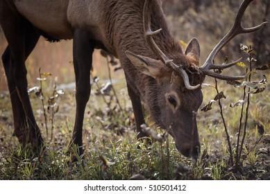 Elk in a medow 11
