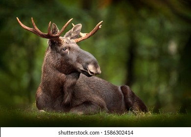 Elk or Moose, Alces alces in the dark forest during rainy day. Beautiful animal in the nature habitat. Wildlife scene from Sweden.