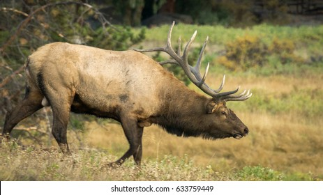 Elk moving harem in Rocky Mountains, Colorado