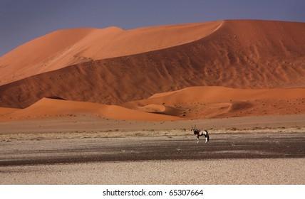 An elk near Namibia dune