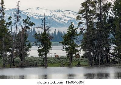 Elk Pause While Walking Along Narrow Strip of Land Along Yellowstone Lake