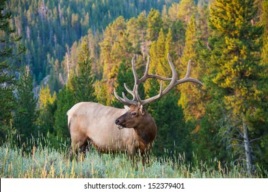 An elk poses on the side of a hill