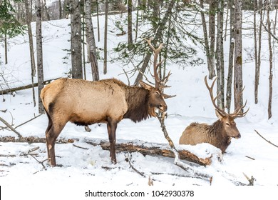 Elk Rattling Next to His Friend
