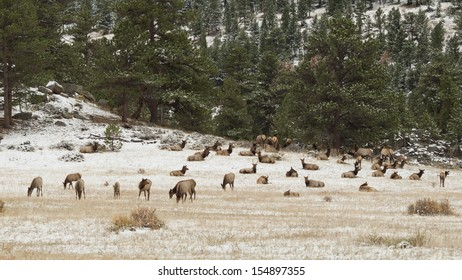 Elk in Rocky Mountain National Park, Colorado