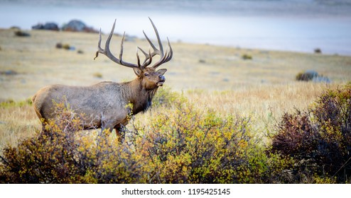 Elk in Rocky Mountains