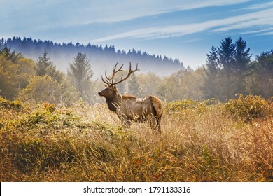 Elk with royal stags poses on a meadow in the Yosemite National Park