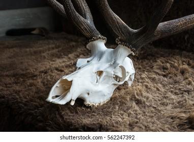 Elk skull in the museum for education