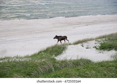 Elk walking along the beach of the Baltic Sea, and drinking water.