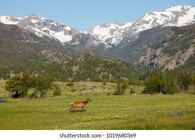 An elk walking through Colorado's Rocky Mountain National Park