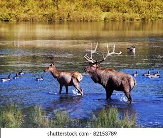 Elk walking in the water during rutting season