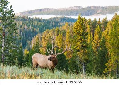 An elk walks along a hillside on a foggy morning