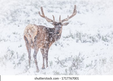 Elk, Wapiti, with big antlers in Yellowstone in a snow storm.