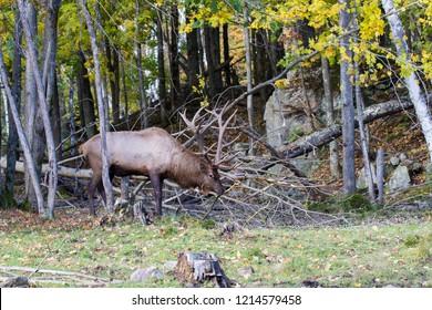 elk or wapiti (Cervus canadensis) in autumn