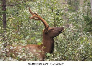Elk or wapiti (Cervus canadensis) in Jasper National Park (Alberta, Canada)