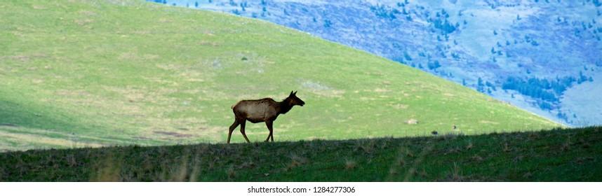 Elk or wapiti (Cervus canadensis) in spring on the National Bison Range, Montana