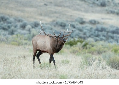 elk, wapiti, cervus canadensis, Yellowstone national park, deer