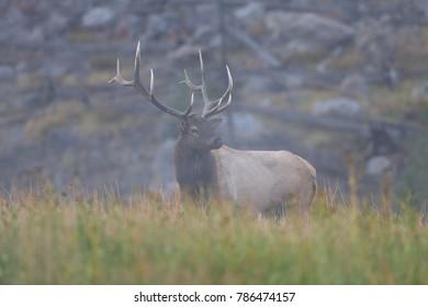Elk (Wapiti), Cervus elephas, Yellowstone National Park, Wyoming, United States