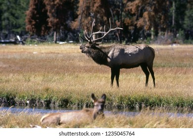Elk ( Wapiti ) grazing on field in Yellowstone National Park