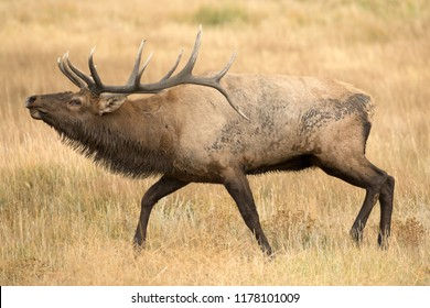 Elk, Wapiti, in Rocky Mountain National Park Agnieszka Bacal.