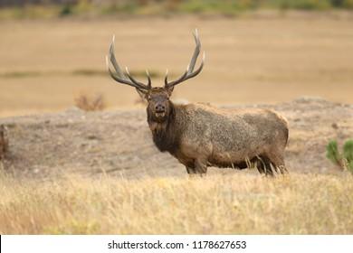 Elk, Wapiti in Rocky Mountain National Park Agnieszka Bacal.