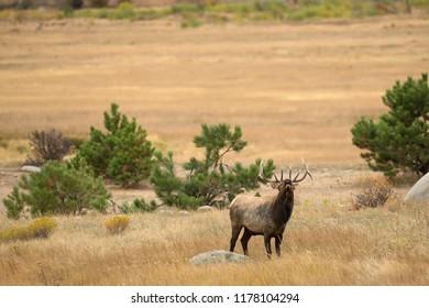 Elk, Wapiti in Rocky Mountains National Park Agnieszka Bacal.