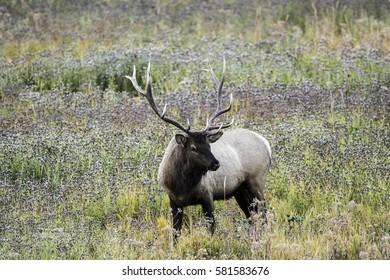 Elk in Wildflowers
