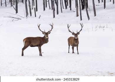 Elk in a winter scene