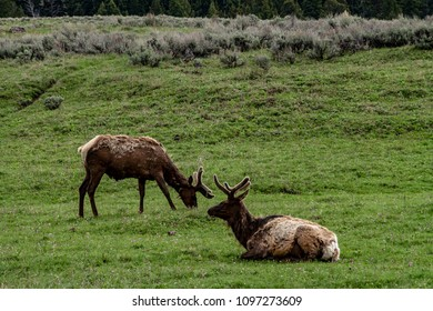 Elk at Yellowstone National Park meadow relaxing