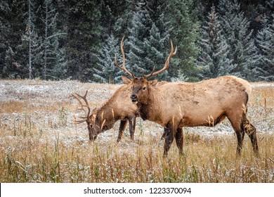 Elks with big horns under heavy snow near Banff National Park, Canada.